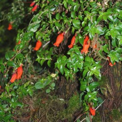 Mitraria coccinea - summer flowers