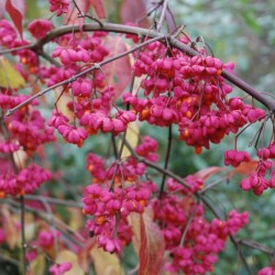 Euonymus europaeus 'Red Cascade' - autumn fruit