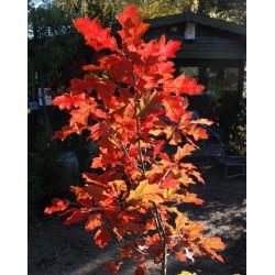 Quercus shumardii - autumn colour