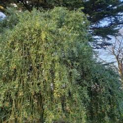 Ilex aquifolium 'Pendula' - mature tree