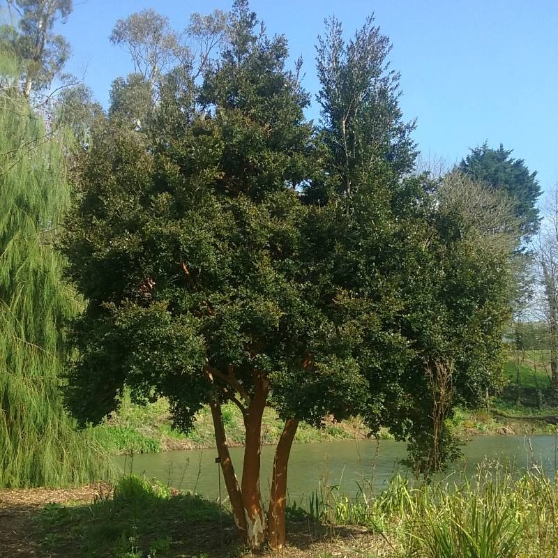 Luma apiculata - growing as a small tree
