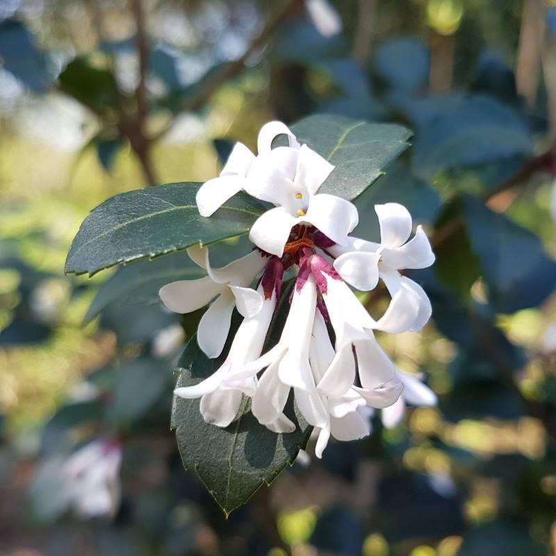 Osmanthus delavayi 'Frank Knight' - flowers