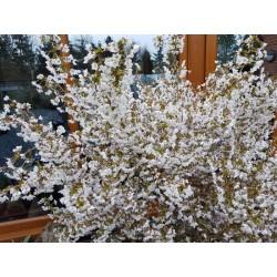 Prunus incisa 'Kojo-no-mai' - spring flowers