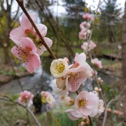 Chaenomeles x 'Toyo-Nishiki' - spring flowers