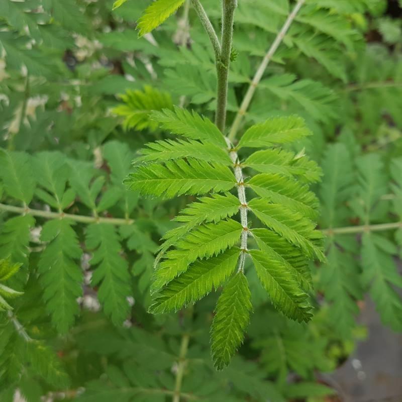 Sorbus aucuparia 'Asplenifolia'