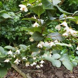 Styrax japonica 'Wespelaar'