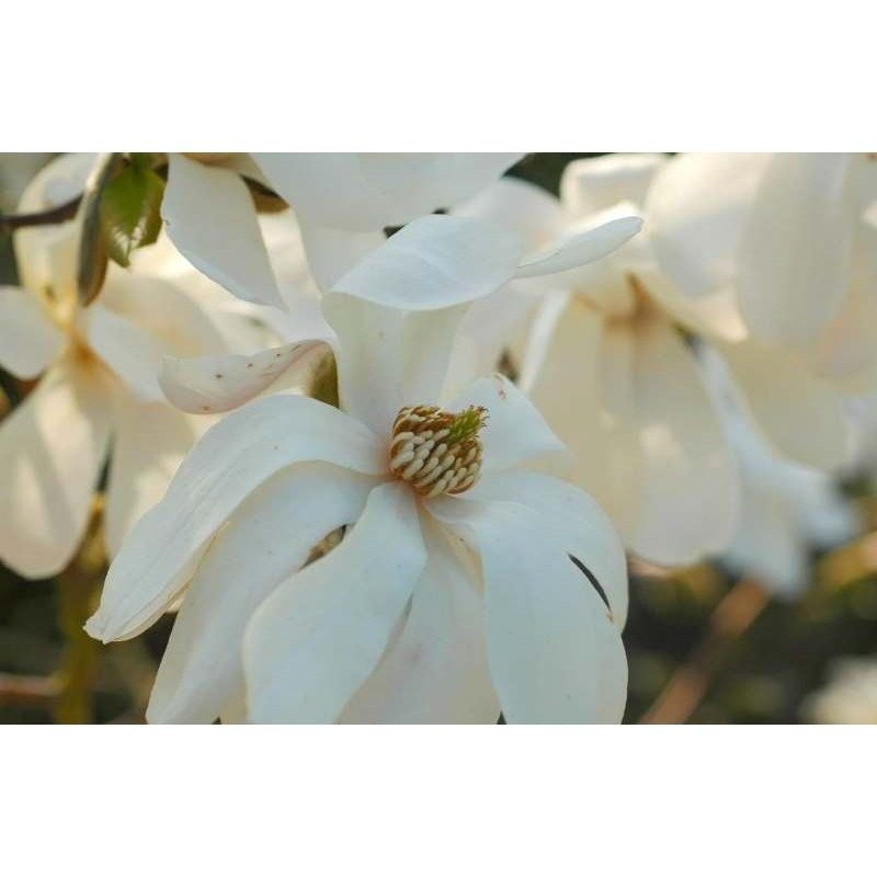 Magnolia kobus - spring flowers