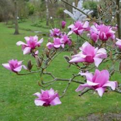 Magnolia x 'Vulcan' - spring flowers