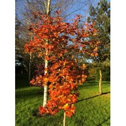 Acer x 'Ample Surprise' - autumn colour