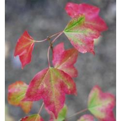 Acer buergerianum - autumn colour