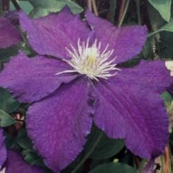 Clematis 'Rasputin' - summer flowers