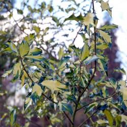 Ilex aquifolium 'Calypso' - variegated leaves