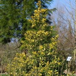 Ilex aquifolium 'Flavescens' - mature plant