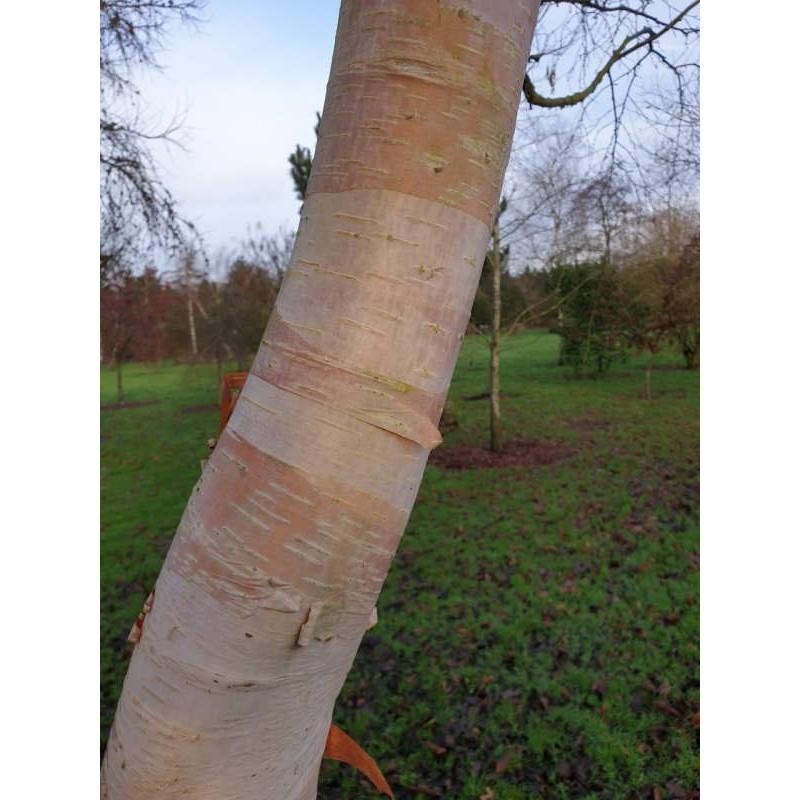 Betula utilis 'Forest Blush'