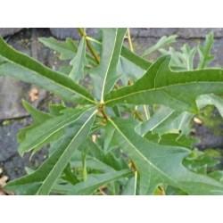 Quercus nigra - summer leaves