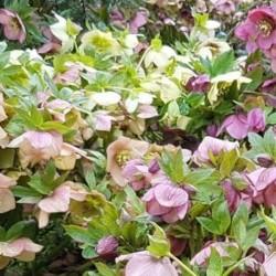 Helleborus (Helen Ballard Seedlings) - mixed flower colours