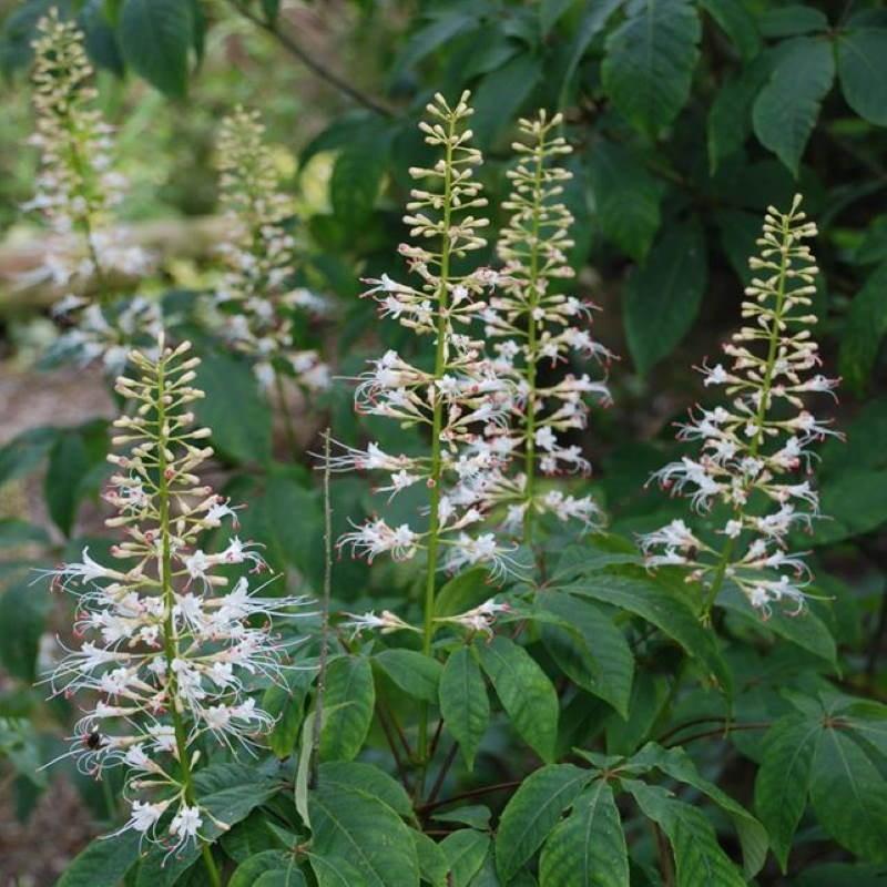 Aesculus parviflora - flowers