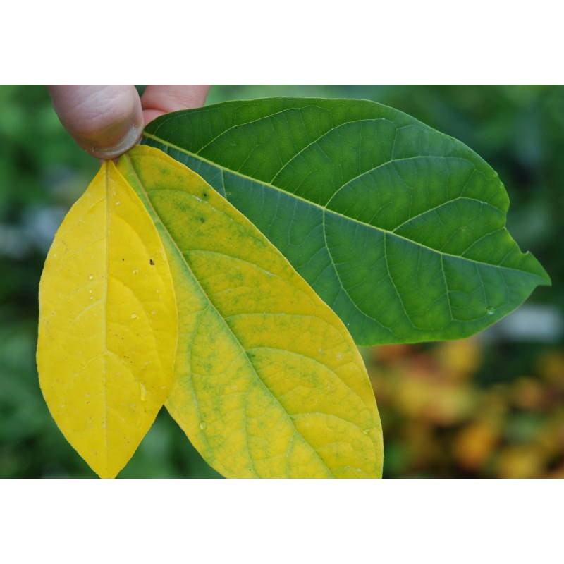 Lindera benzoin - autumn colour developing