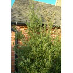 Laurus nobilis 'Angustifolia' - mature plant