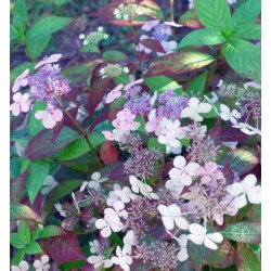 Hydrangea macrophylla 'Mariesii Perfecta' - flowers on a soil with neutral pH