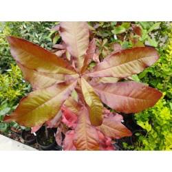 Quercus imbricaria - autumn colour developing