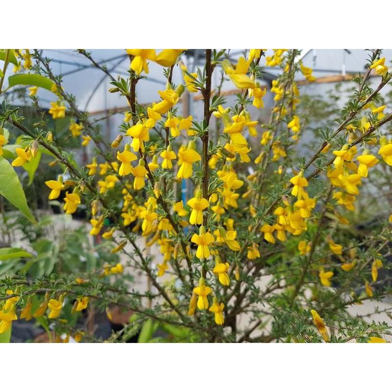 Caragana aurantiaca - summer flowers