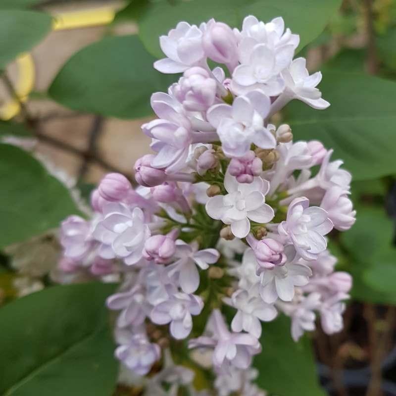 Syringa vulgaris 'Belle de Nancy' - flowers