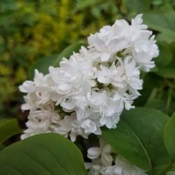 Syringa vulgaris 'Mme Lemoine' - flowers