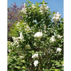 Syringa vulgaris 'Mme Lemoine' - established plant