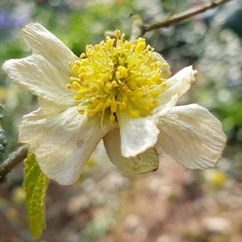 Parrotiopsis jacquemontiana - spring flowers