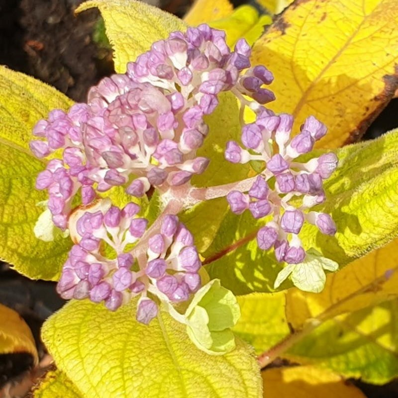 Hydrangea involucrata 'Viridescens' - flowers in autumn as leaves start to colour and fall.