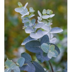 Eucalyptus gunnii - young leaves
