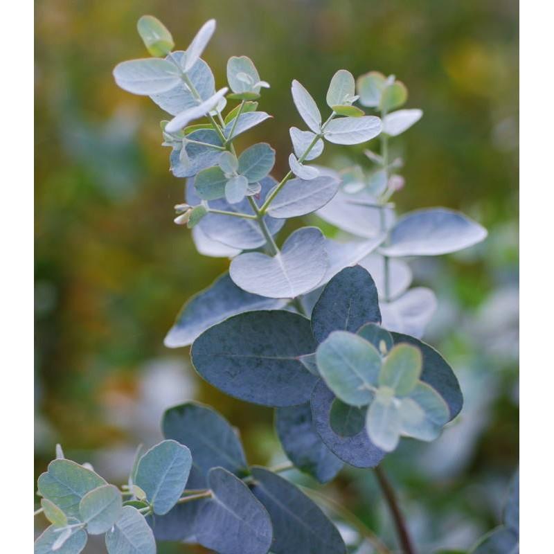 Eucalyptus gunnii - young leaves