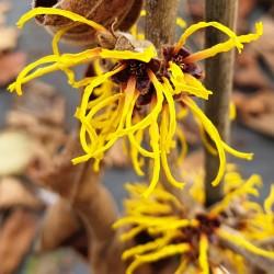 Hamamelis × intermedia 'Ripe Corn'  - winter flowers