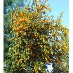 Berberis x 'Goldilocks' - mature plant