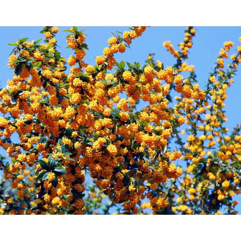 Berberis x 'Goldilocks' - spring flowers