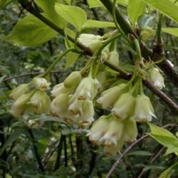 Staphylea trifolia - spring flowers