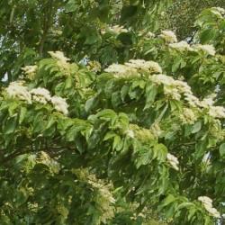 Cornus macrophylla - summer flowers
