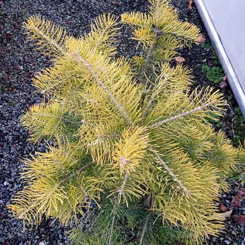Abies concolor 'Wintergold' - winter colour