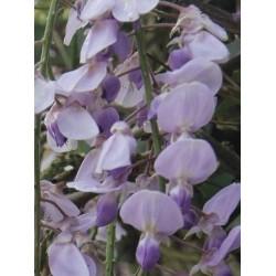 Wisteria x valderi 'Burford' - summer flowers