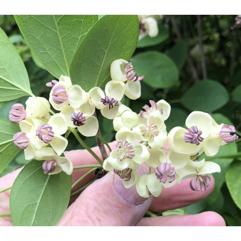 Akebia quinata 'Alba' - late spring flowers