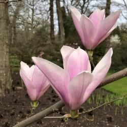 Magnolia x 'Heaven Scent'