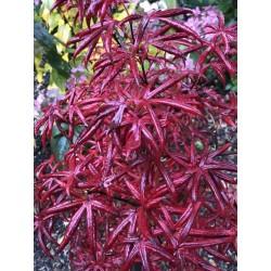 Acer palmatum 'Starfish' - autumn colours