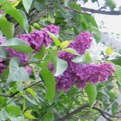 Syringa vulgaris 'Andenken an Ludwig Spath'