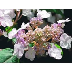 Hydrangea aspera 'Mauvette' - summer flowers