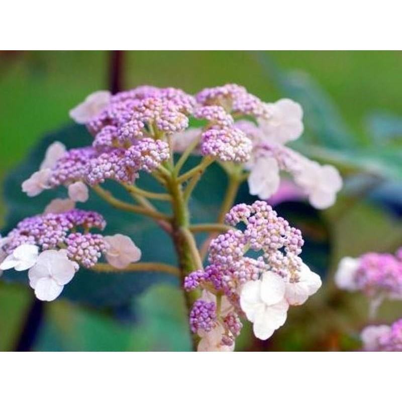 Hydrangea aspera 'Villosa' - summer flowers