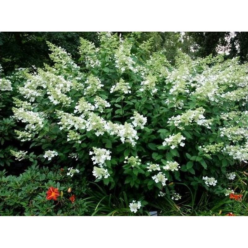 Hydrangea paniculata 'Greenspire' - summer flowers