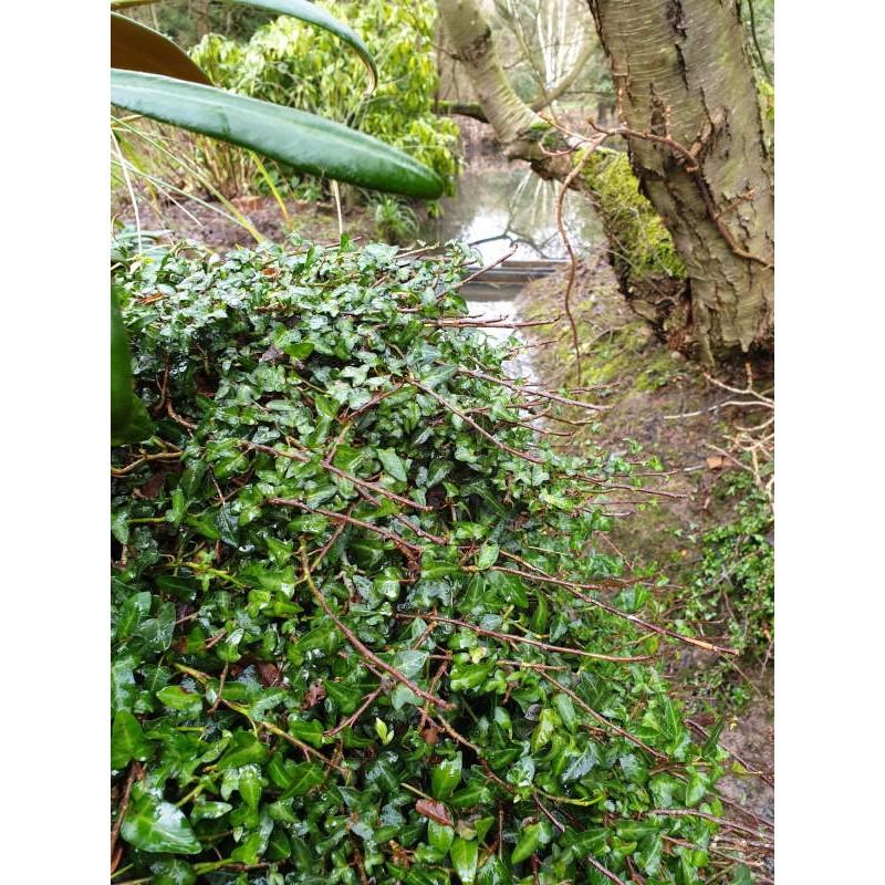 Hedera helix 'Minima' - climbing over an old stump