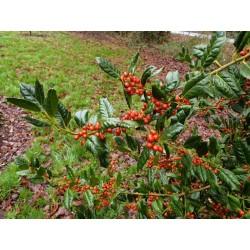 Ilex x 'Nellie R Stevens' - winter berries