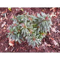 Euphorbia amygdaloides 'Purpurea' - established plant in early January
